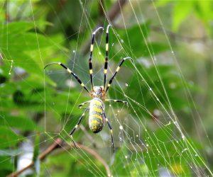 9/23 ジョロウグモ 大きな雌の巣には小さなオスがひっそりと同居、ますに食べられないようこっそり近ずき交尾します。