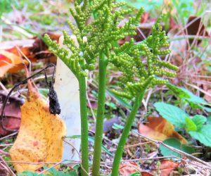 10/5 冬の花蕨   ワラビと同様シダの仲間ですが食べません。