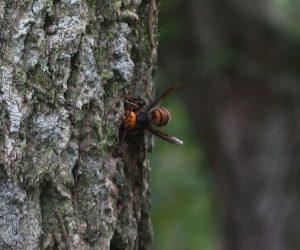 10/13 オオスズメバチ コナラの樹液を飲んでいるようです。