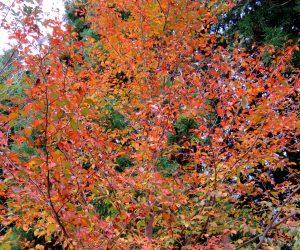 10/27 夏椿の紅葉