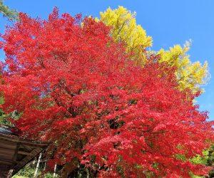 11/5 徳山神社のモミジとイチョウ