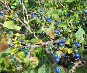 11/6   サワフタギ  水辺が好きで沢に蓋をするように繁茂するのでこの名前が。蒜山盆地(茅部野)