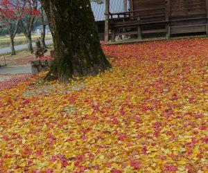 11/12  徳山神社の境内 モミジとイチョウの落ち葉