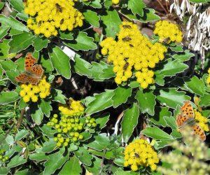 11/21 イソギクとタテハチョウ タテハチョウは成虫で越冬、ハナアブなどの虫たちも集まっています