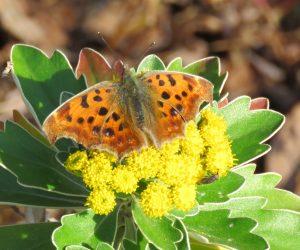 11/27 キタテハ秋型 越冬のため遅くまで蜜をあさっています