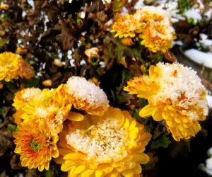 12/10 雪化粧の寒菊  蒜山で露地栽培の寒菊の花を見るのはめったに有りません。