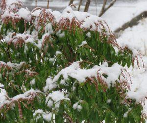 12/14 馬酔木に雪 花芽がたっぷり付いています