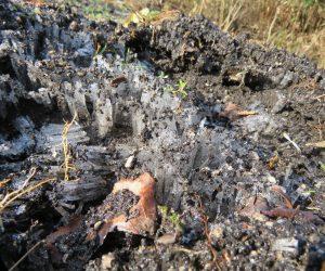 12/16 霜柱 関東の赤土ほどでは有りませんが3㎝位の。霜柱が出来ています
