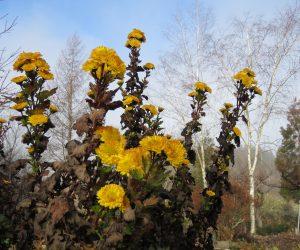21日 寒菊 例年の蒜山では寒菊の花を見る事が牟づかしいのですが今年は暖冬、頑張っています。