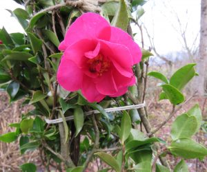 23日 山茶花  蒜山では昔は山茶花の花は咲かないと言われていたのですが最近は早生の山茶花は咲くようになりました。