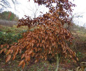 25日 ブナの若木   ブナやクリの若木は葉が枯れても春まで落ちずに頑張っています。