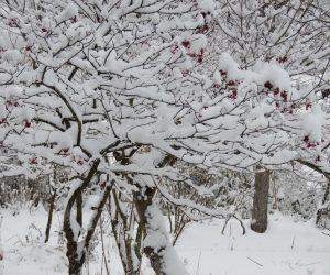 28日 ガマズミが雪の厚化粧  風が無いので実が見えないほどに積っています