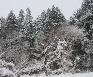28日 庭の木々がたっぷり雪化粧