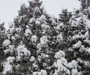 29日 杉やヒノキが重そうに雪を受けています.水っぽい雪が沢山降ると倒木が発生します