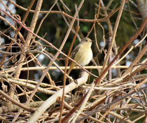 1/12  ジョウビタキの雌   ジョウビタキは冬になると雄も雌も独立したテリトリーを持ちます。