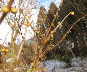 1/18  ロウバイの蕾膨らむ 蒜山で一番最初に咲く花、次はネコヤナギとセリバオウレン。