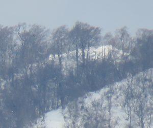 1/19  上蒜山三角点付近のブナ林 三角点付近のブッシュはほぼ雪の下になったようです。