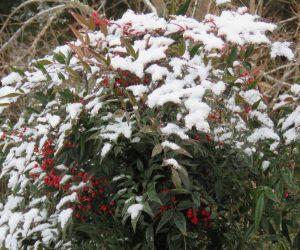 1/21 南天に少し雪  南天の実はおいしくないのか野鳥に食べられることなく春まで残ります