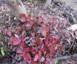 1/22 常盤イカリ草の紅葉  一度雪の下に隠れていたのがまた姿を現しました。 寒風にさらされ葉が傷んでしまいます。 今年は記録的小雪、とんだ災難。