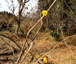 2/4    ロウバイ咲き始める、例年より1か月近く早い