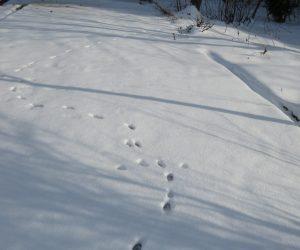 2/11  ネコの足跡  蒜山の猫は雪の上でも平気で歩き回ります。