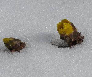 2/16 雪から顔を出す福寿草
