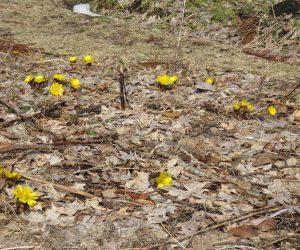 2/18 雪すっかり消えて福寿草が群れ咲く