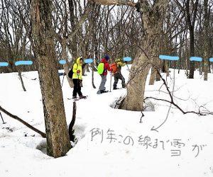烏ヶ山山麓ブナの巨木を訪ねて  ミズナラの樹皮が白っぽい所まで雪が積もります。 およそ3m、夏は2m以上のネマガリ竹に覆われ人が踏み入ることが出来ません。