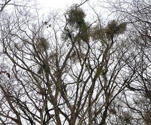 烏ヶ山山麓ブナの巨木を訪ねて 根がブナの木入り込んで樹液より栄養を吸い取る半寄生木。 寄生された所より先は枯れてしまいます。