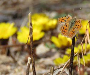 2/22  冬眠明けのキタテハ 福寿草の傍で春の日に体を温めています。