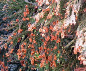 杉の雄花  去年の7月が暑かったので今年は大量飛散か?