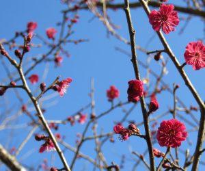 紅梅  蒜山にも遅い春が、例年よりは少し早いですが