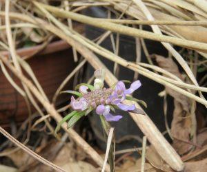 3/15 マツムシソウ  晩秋につぼみだったのが何とか冬を越して開花、すごい生命力です。