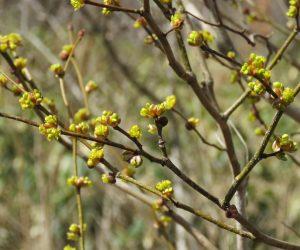 3/19 ダンコウバイ  甘い香りがするのですがまだ虫たちが冬眠から覚めていません