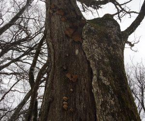 巨木(枯れた木にキノコ)