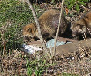4/4 狸2匹とも皮膚病でした  左のほうがおとなしい表情、雌かな体もちょっと小さい。