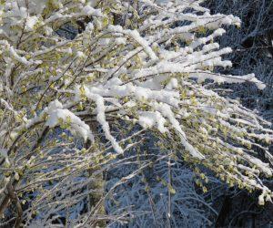4/1 ヒュウガミズキを覆いつくす新雪