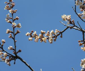 4/3 サクランボの花  ソメイヨシノより一週間~10日くらい早く咲きます。