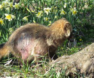 4/4 かなり重い皮膚病、抜け毛の季節ですがこれは病気。 家猫の排泄物から感染するとか、野生動物には薬を塗ってくれる医者も薬局もない、気の毒に。