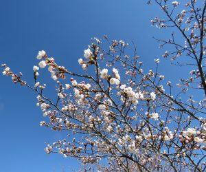 4/13  桜一部咲き