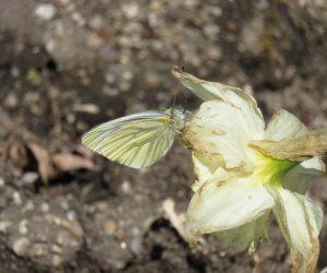 4/20 スジグロ白蝶 モンシロチョウの仲間でモンシロチョウより少し大型、裏の黒い筋が目立ちます。