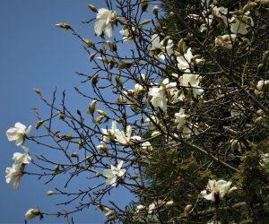 4/21 コブシ  額のところに葉が一枚付いている。 ほとんど同じ花でタムシバがあるが標高5~600m以上に生育、コブシは500~600m以下に生育。 タムシバは学のところに葉がないかあっても小さい。