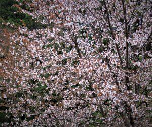 4/24ヤマザクラ  花は白ですが葉が赤いので遠目にはピンクの花が咲いているように見えます。 緑の葉の山桜は白花に見えます