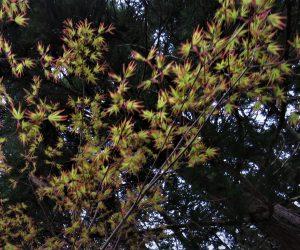 4/28  モミジの新芽